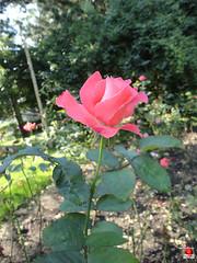 Roses - Hybrid tea rose 'Touch of Class' - Rosaceae SC20120826 315 (fotoproze) Tags: roses canada rose quebec montreal rosen gl rosas rozen 2012 roser    rosor mawar jardinbotaniquedemontral rsir re re  montrealbotanicalgardens trandafiri arrosak ruusut hoahng   princessgraceofmonaco     rue    rzsk queenrose vrtnice ris  rhosynnau
