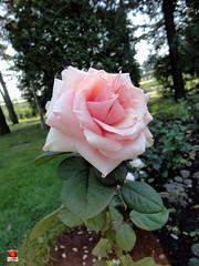 Roses - Hybrid tea rose 'Fernand Gignac' - Rosaceae SC20120826 295 (fotoproze) Tags: roses canada rose quebec montreal rosen gl rosas rozen 2012 roser    rosor mawar jardinbotaniquedemontral rsir re re  montrealbotanicalgardens trandafiri arrosak ruusut hoahng       rue    rzsk queenrose vrtnice ris  rhosynnau