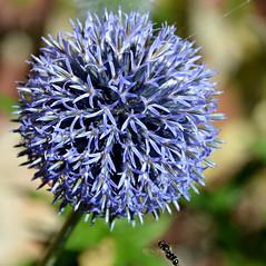 A Ball of Blue (Eleanor (No multiple invites please)) Tags: blue flower ball hoverfly floralfantasy canonspark fantasticnature betterthangood flickrsawesomeblossoms unforgettableflowers natureskingdom anaturecanvas brigettesbeautifulnaturegallery anythingnikonexceptpeople