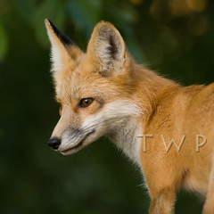 Scheme (WanderWorks) Tags: red canada nature fur outdoor wildlife fox zorro renard 狐狸 キツネ лиса ثعلب dsc5742wbsatc2hmg2 लोमड़ी