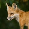 Scheme (WanderWorks) Tags: red canada nature fur outdoor wildlife fox zorro renard 狐狸 キツネ лиса ثعلب dsc5742wbsatc2hmg2 लोमड़ी