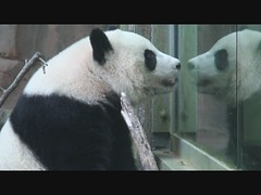 Po and Lun Lun outside (smileybears) Tags: cub panda po zooatlanta lunlun