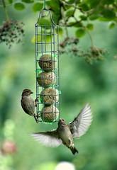 House sparrows at the feeder (Jaedde & Sis) Tags: gråspurve sparrow wings feeder dof pregamesweepwinner gamesweepwinner fotocompetitionbronze fotobronze 15challengeswinner bigmomma thepinnaclehof tphofweek168 gamex2sweepwinner kanchenjungachallengewinner thumbsup twothumbsup fotocompetitionsilver fotosilver perpetualwinner