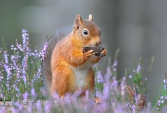 Red Squirrel (Sciurus vulgaris) (Col-Page) Tags: scotlandheatherredsquirrel