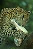 Shri Lanka Panter (K.Verhulst) Tags: panter leopard cats burgerszoosrilankapanter srilankanleopard arnhem nl me2youphotographylevel1 allofnatureswildlifelevel1 me2youphotographylevel2 allofnatureswildlifelevel2 allofnatureswildlifelevel3 allofnatureswildlifelevel4 allofnatureswildlifelevel5 kat cat