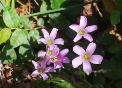 Flores de trevo. (Adolfo Alarcon) Tags: flres floresdetrevo