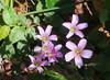 Flores de trevo. (Adolfo Alarcon) Tags: flôres floresdetrevo