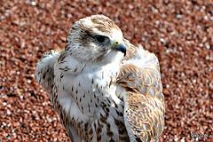 Saker Falcon (Diko G.W.Dont like the new setting) Tags: flickrstruereflection1 me2youphotographylevel1 freedomtosoarlevel1birdphotosonly freedomtosoarlevel2birdphotosonly