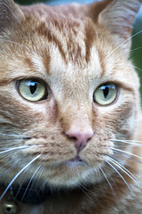 Buddy (DFChurch) Tags: orange pet cat feline tabby buddy