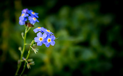 Blue on Green (Andy Perry) Tags: uk flowers plants plant flower macro canon countryside surrey 600d flowerpicturesnolimits