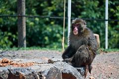 Macaque japonais (Liselotte HB) Tags: singe macaque macaquejaponais