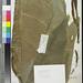 Alocasia zebrina (A wenzelii, IT) US88036