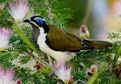 Blue-Faced Honeyeater 008 (DMT@YLOR) Tags: bluefacedhoneyeater