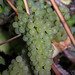 2012 Cal Plans Woods Chardonnay Harvest 0016