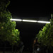 2012 Cal Plans Woods Chardonnay Harvest 0010