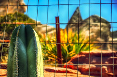 Cactus Kilroy, A Fly And The Back End Of A Cadillac (hbmike2000) Tags: cactus fence nikon disney d200 hdr burp disneycaliforniaadventure disneylandresort hff pardonme explored radiatorsprings carsland cadillacrange fencefriday fencedfriday hbmike2000