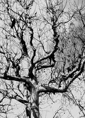 Tree with Crow (Saromat (photographs by Sarah B.)) Tags: blackandwhite bw paris france tree nature branches pflanze sw crow schwarzweiss raven ste baum krhe zweige rabenvogel