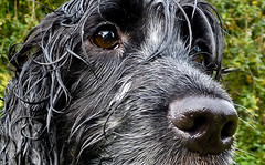 Otis (Photo Gal 2009) Tags: dog blackwhite otis canine spaniel dogface cocker cockerspaniel dognose blueroan englishcockerspaniel dogeye blueroancocker cockerboy