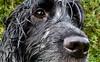 Otis (Photo Gal 2009) Tags: dog blackwhite otis canine spaniel dogface cocker cockerspaniel dognose blueroan englishcockerspaniel dogeye blueroancocker cockerboy