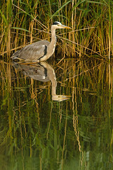 Heron reflection (andrewinpompey) Tags: lake reflection bird london heron water reeds nikon sigma barnes wwt wildfowlandwetlandstrust 120300 d7000 sigma120300mmf28apoexdgos sigma14xexdgapoteleconverter