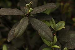 Rhododendron glaucophyllum Rehder (5) (siddarth.machado) Tags: rhododendron northsikkim himalayanflora 3000msl