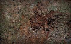 rusty Stephanopis (dustaway) Tags: arthropoda arachnida araneae araneomorphae thomisidae stephanopinae stephanopis crabspider crypsis camouflage concealment australianspiders nature lismore northernrivers nsw australia rotarypark rainforest spideronbark