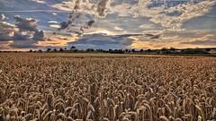 Field in the evening sun (bmachmueller) Tags: abendlicht sonnenuntergang natur weizenfeld wolken weitwinkel tokina 1116mm evening light sunset nature wheat field cloud grtringen badenwrttemberg