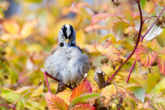 White-crowned Sparrow Sitting in Raspberry Vines (wanderinggrrl) Tags: alamy picofweek shutterstock year4week10 america animal avian background beautiful bird brown crowned fall feather garden nature north ornithology outdoors perched perching portrait post raspberries red songbird sparrow summer white whitecrowned wildlife wing yellow