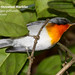 Flame-throated Warbler, Oreothlypis gutturalis