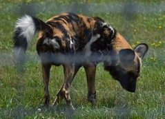 African Painted Dog (tim.perdue) Tags: wilds nature preserve conservation center cumberland ohio zoo animal mammal african painted dog wild canine lycaon pictus carnivore