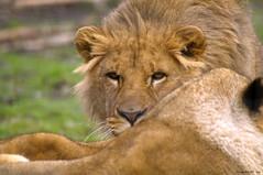 Prdateur (Phil du Valois) Tags: prdateur fauve carnassier lion flin parcdesflins