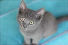 IMG_2503-001 (murkla_la) Tags: cat russianblue moussie gray graycat