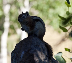 Morning Sentinal -- Golden-mantled Ground Squirrel (Spermophilus lateris); Santa Fe National Forest, NM, Thompson Ridge [Lou Feltz] (deserttoad) Tags: nature newmexico animal rodent mammal fauna squirrel groundsquirrel behavior nationalforest silhouette mountain