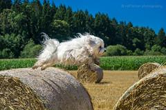 Flying Dog (buchsammy) Tags: 2015 apsc bichon bitzer blau blue buchsammy gassi haustier havanese havaneser hund hfingen ralf sommer sonnenschein sonntag sony sonysel1670mmf4zaoss sonyalpha6000 strohballen action deutschland dog freude fun germany gras grn happy himmel joy pet sky spas strawbales summer
