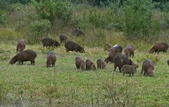 Herd of Capybaras (Hydrochoerus hydrochaeris) grazing at dusk ... (berniedup) Tags: capybara hydrochoerushydrochaeris taxonomy:binomial=hydrochoerushydrochaeris pantanal transpantaneira pocon