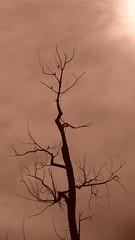Sepia Tone (barbaragaillewis) Tags: sony sonyhx9v sepiatone tree sun sky summer august 2016 geneseecounty michigan nature