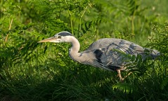 Heron on the prowl. (Chris Sweet 85) Tags: heron nature bushypark nikon nikond7100 bird