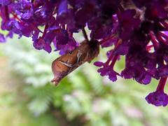 (Lepidoptera: Hepialidae) Triodia sylvina , Kamsprtad rotfjril / Orange swift (holgeric77) Tags: karlstad vrmlandsln sweden se lepidoptera hepialidae triodiasylvina