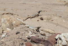 Egyptian Mastigure (Uromastyx aegyptia)JPG (cowyeow) Tags: egyptian mastigure uromastyx aegyptia egyptianmastigure uromastyxaegyptia wildlife animals travel rocky israel middleeast desert nature dry eilat lizard herping herpetology herp herps reptile reptiles sinai