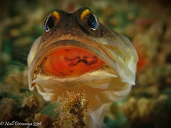 JAWS (Niall Deiraniya Underwater Photography) Tags: jaw jawfish jaws mouth lembeh sulawesi