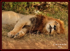 KING OF THE JUNGLE (Panthera leo)....MASAI MARA......SEPT,2015 (M Z Malik) Tags: nikon d3x 200400mm14afs kenya africa safari wildlife masaimara kws exoticafricanwildlife exoticafricancats flickrbigcats lionking leo ngc