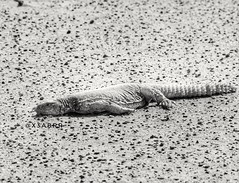 # # # # #  # #_ #photo_world # # # # #_ # #sonyalpha #goodevening  #  #  # #photo  #Lizard #lizards #_ #dinosaur #bw #animal #animals # # #sonyalp (photography AbdullahAlSaeed) Tags: goodevening     animal  lizard hdr lizards    dinosaur    bw      photo sonyalpha animals  photoworld