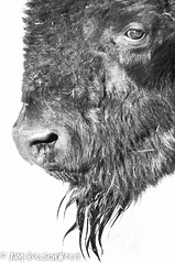bison head (cuddleupcrafts) Tags: bison head goatee buffalo antelope island state park utah wildlife image photography