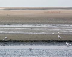 Oiseaux  la pointe du Hourdel (louis.labbez) Tags: france estuaire somme labbez oiseau baie mer rivire embouchure sea river fleuve hourdel gris bay 80 mare lehourdel picardie mouette sable