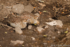 0028 Wachtelfrankolin - Grey Francolin (uwizisk) Tags: india indien ranthambhorenationalpark wachtelfrankolin francolinuspondicerianus vgel bird