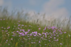 (robra shotography []O] +off -on) Tags: wildflowers flowers focus bokeh nature natura