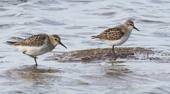 Dunlin & Little Stint (Robin M Morrison) Tags: littlestint dunlin blackholemarsh seaton devon