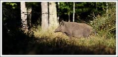 le mme un peu plus loin (guiguid45) Tags: nature sauvage animaux mammifres fort loiret fortdorlans d810 nikon 500mmf4 sangliers cochons