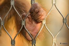 Linker Fu eines Orang Utan Babys (antowo1) Tags: 70200 ef70200f28lisiiusm 600d eos canon tierpark zaun fence hand wild affe erlebnissen zoom zoo orangutan natur nature