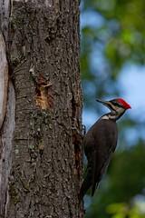 pileated woodpecker (Dryocopus pileatus) (Simon Valdez-Juarez) Tags: pileatedwoodpecker dryocopuspileatus female burnaby canada